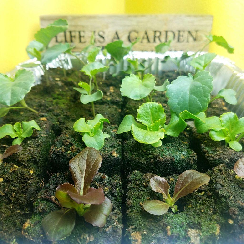 lettuce-soil-blocks