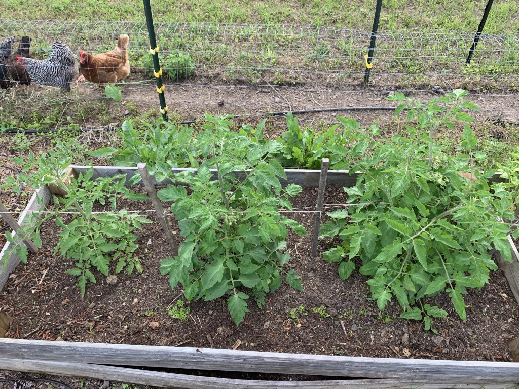 Mel's Mix tomatoes in raised bed