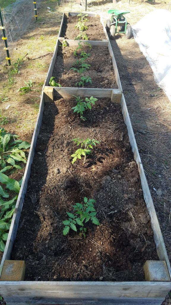 Planting Tomatoes in 3 raised bed soil mixes