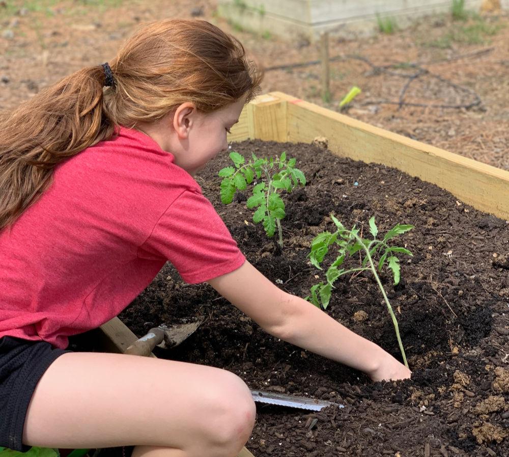 transplanting tomato in raised bed