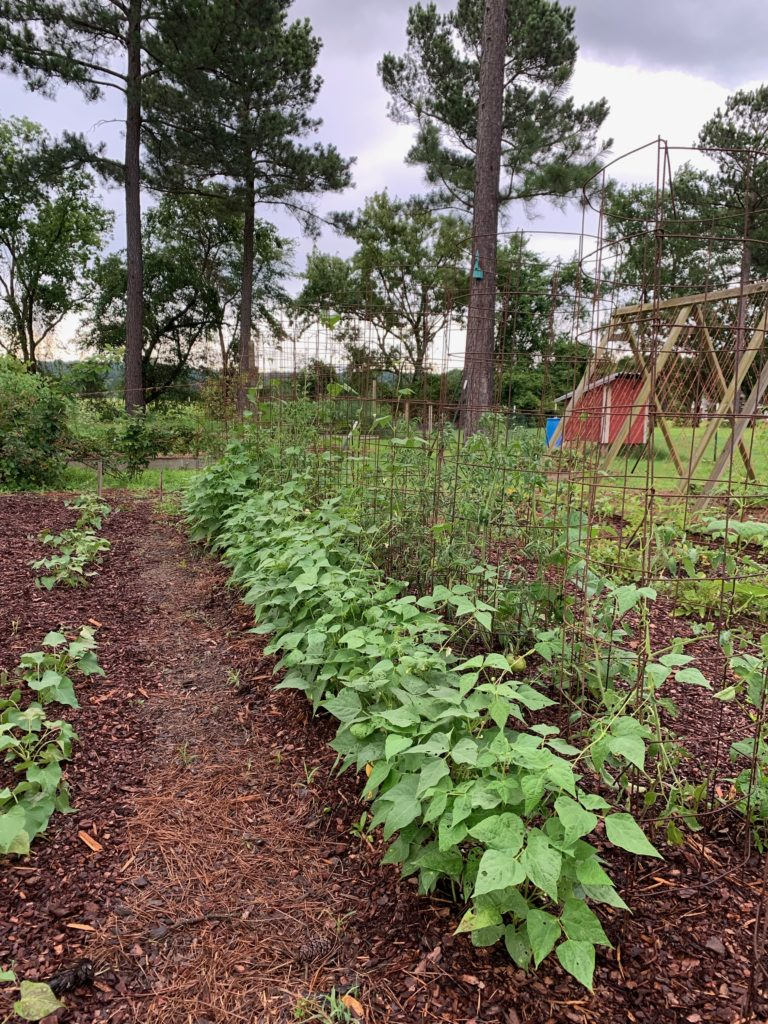 pinto beans planted with tomatoes