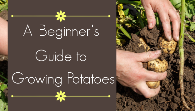 The Beginner's Guide to Growing Potatoes