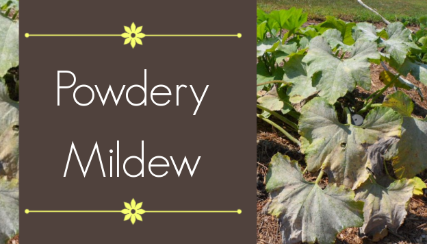Powdery Mildew: Identification, Prevention, and Treatment