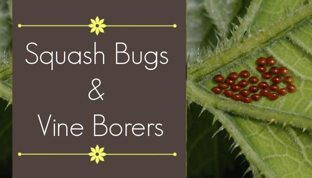 Common Squash Pests: Squash Bugs and Squash Vine Borers