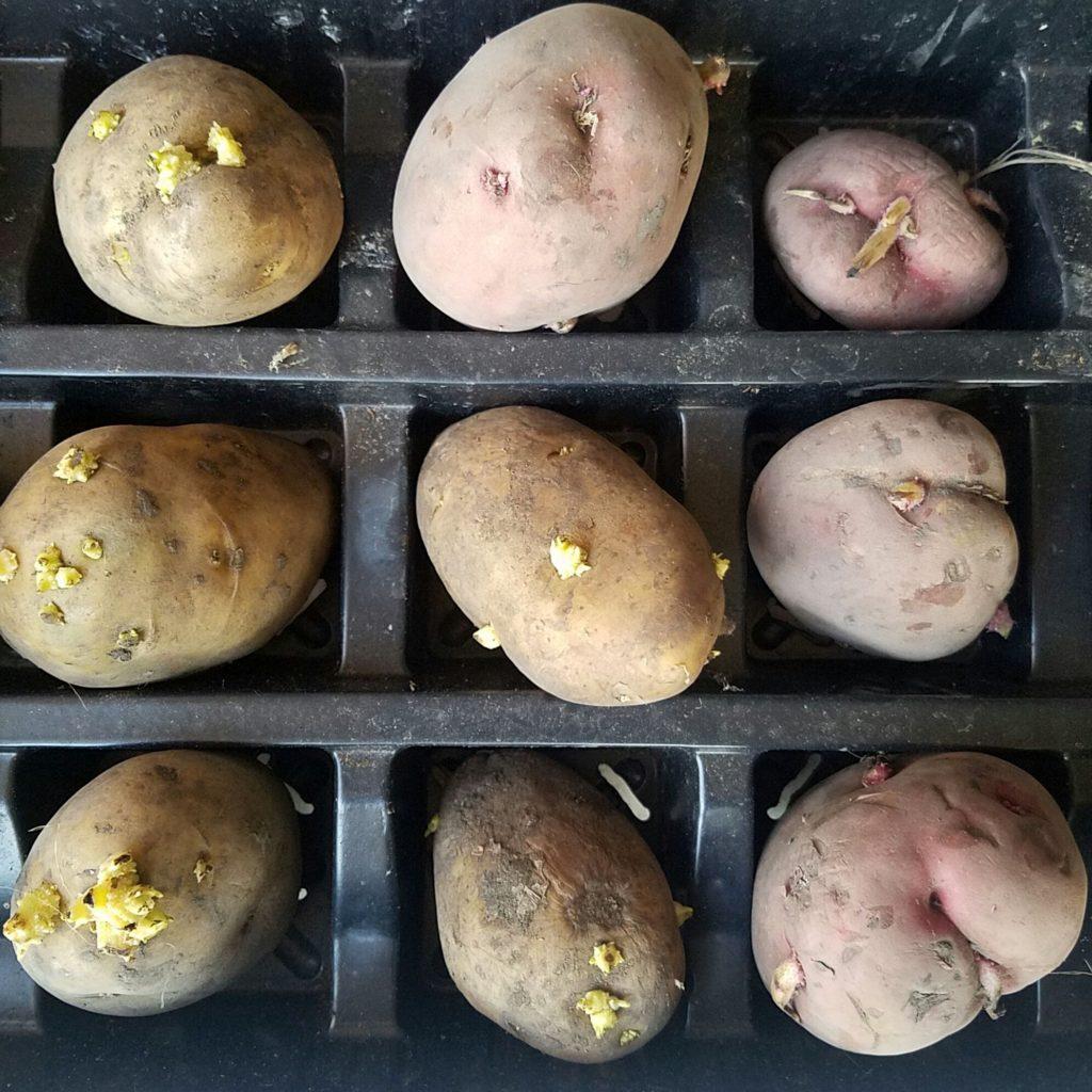 eyes on potatoes