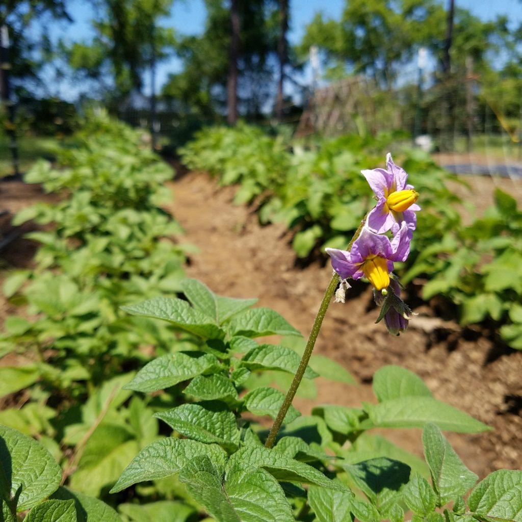 potato flowering