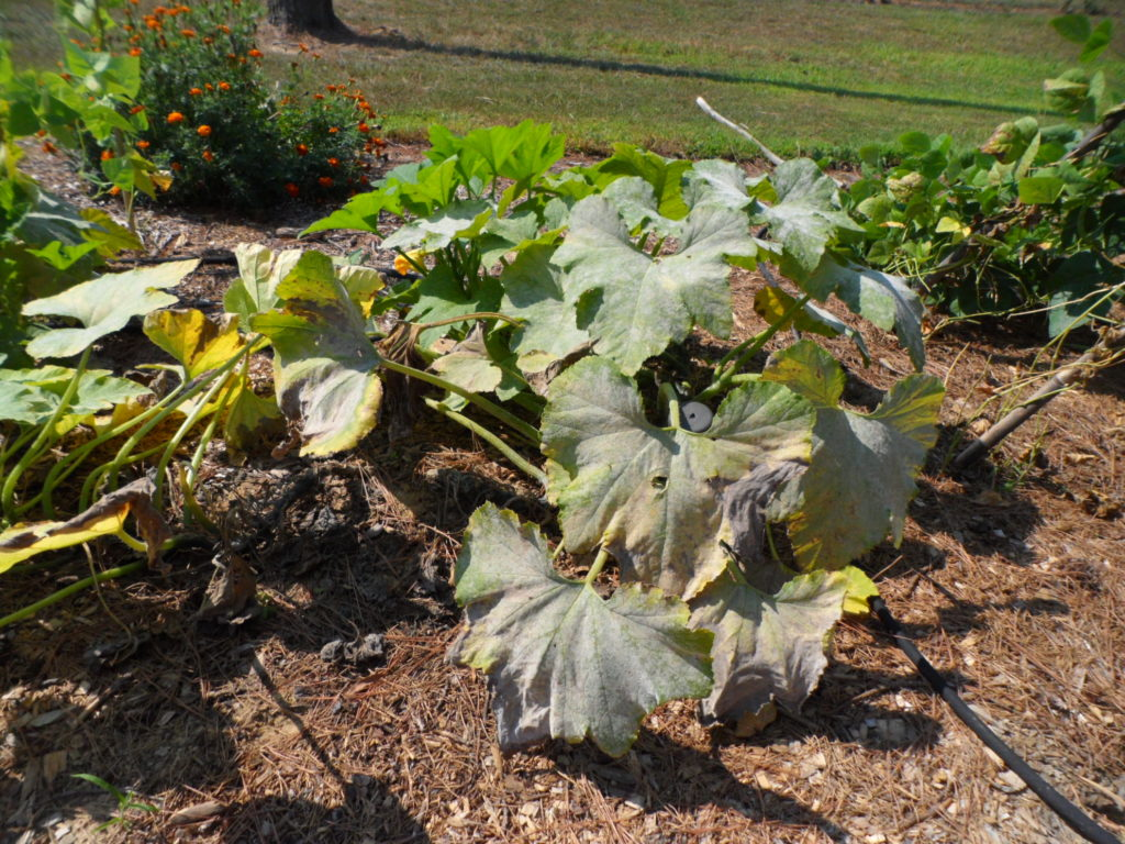 squash plant dying from powdery mildew