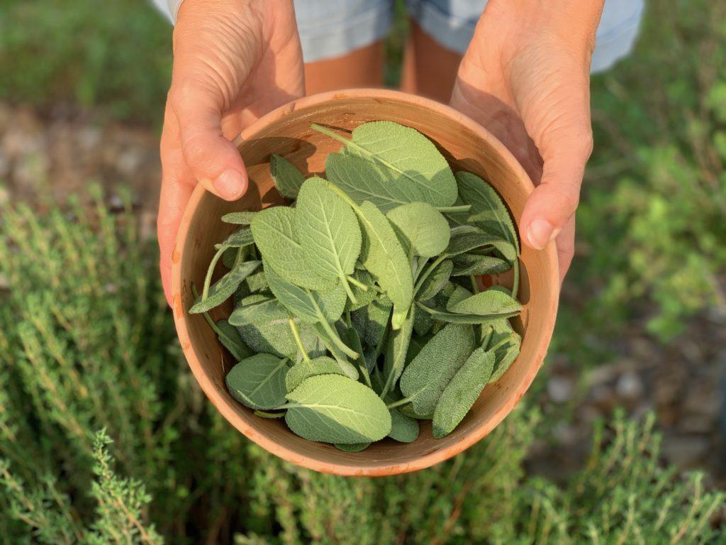 harvested sage in bowl