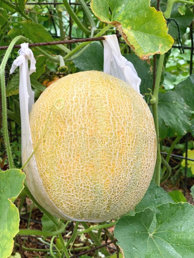 Cantaloupe growing vertically supported by sling