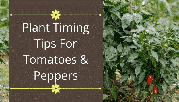 When to Plant Tomatoes and Peppers