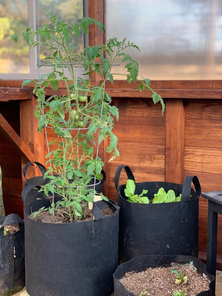 Tomatoes and lettuce growing in grow bags inside a greenhouse