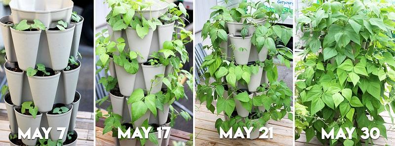 progression of plant growth in Greenstalk vertical planter
