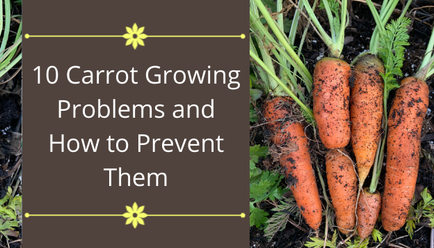 10 Carrot Growing Problems and How to Prevent Them