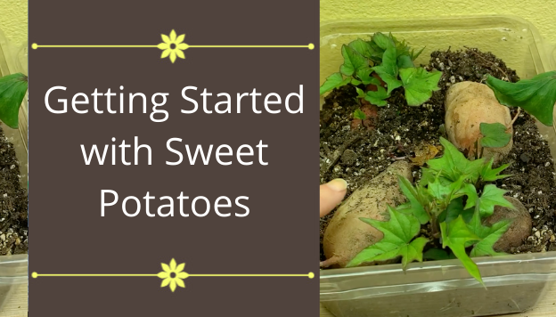 Starting Sweet Potatoes: Timing, Variety, Growing Slips, and Planting in the Garden