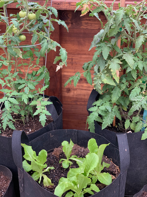 Fabric Grow Bags filled with tomatoes and lettuce plants