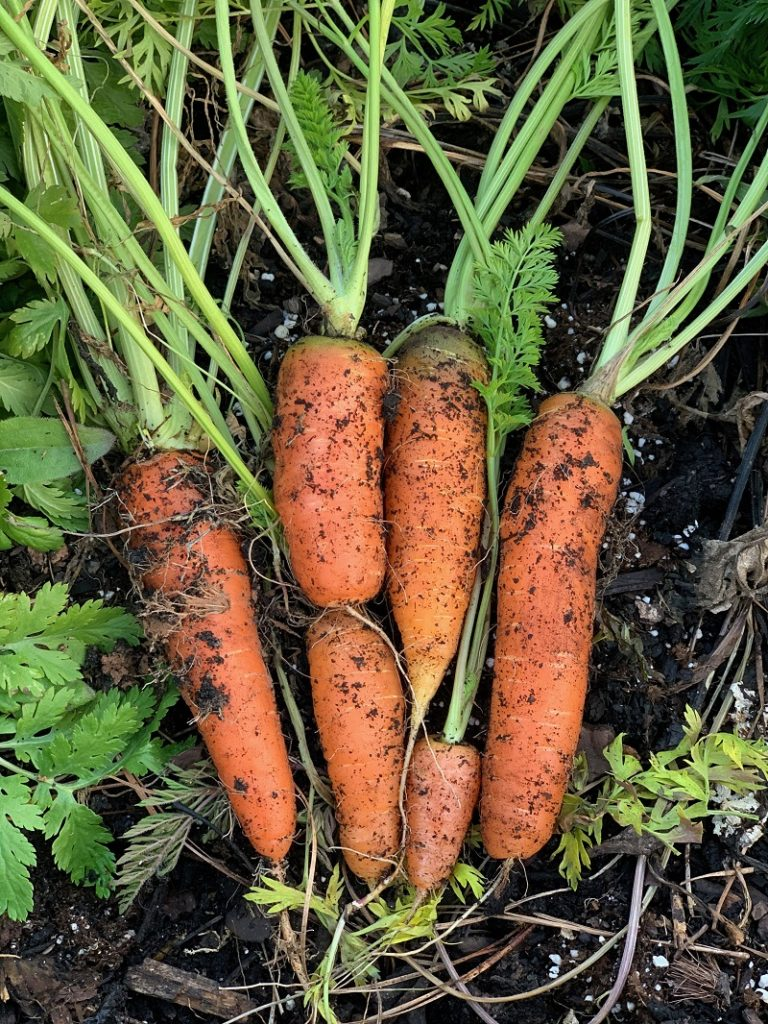Group of harvested carrots