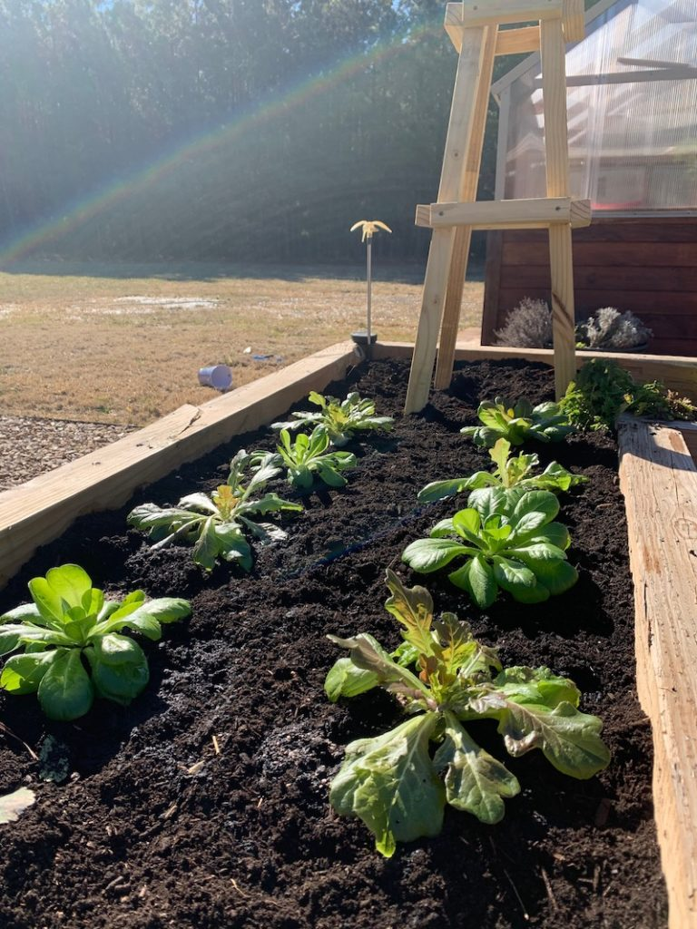 raised bed filled with new compost and lettuce