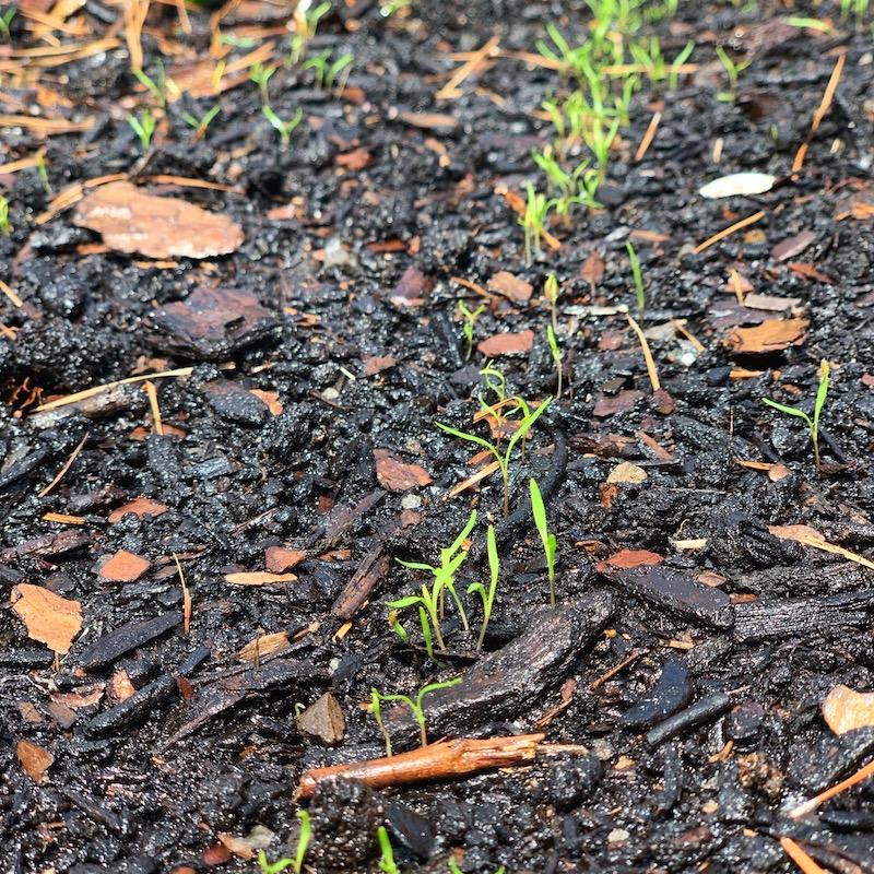 carrot seedlings sprouting in soil