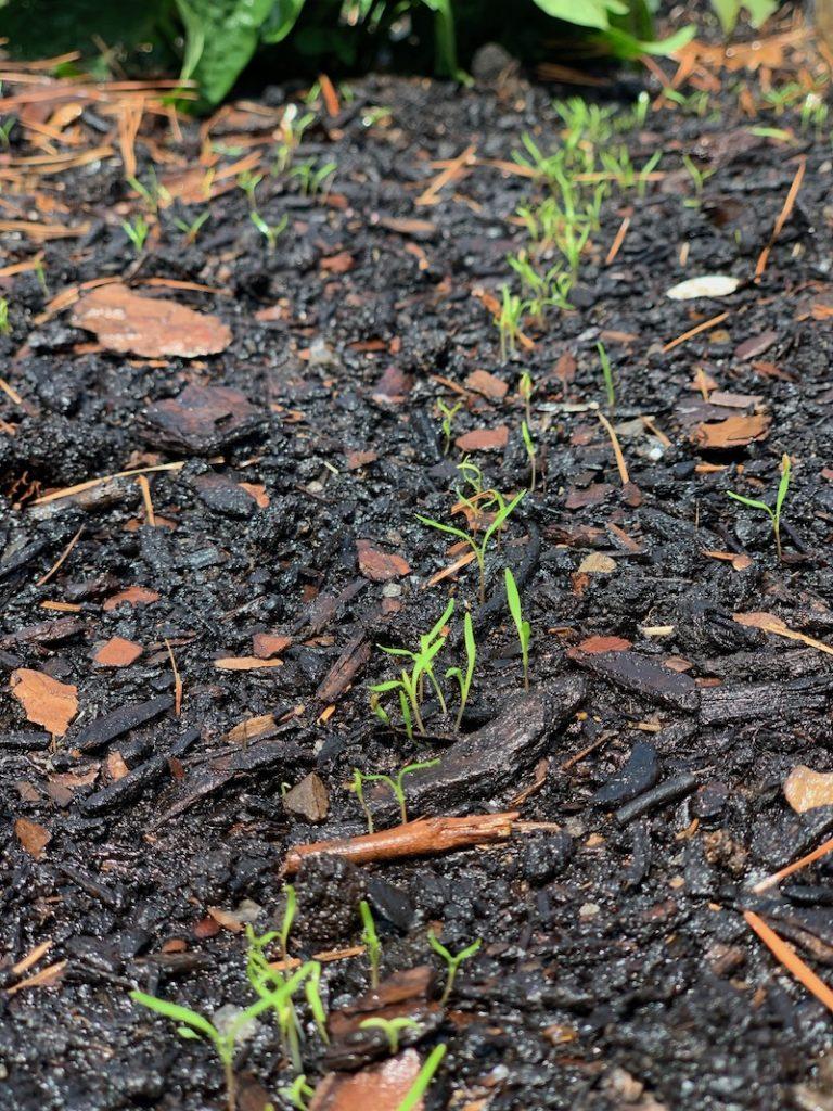 Carrot seedlings growing in good soil