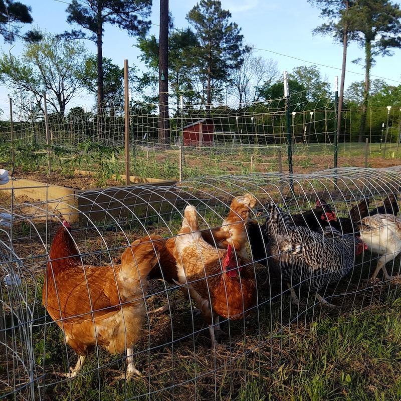 flock of chickens in a chicken tunnel around the garden