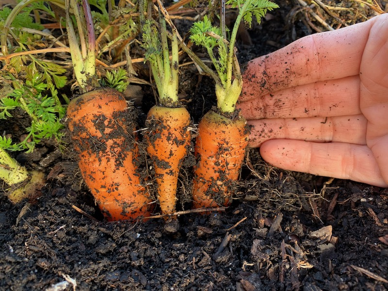 small carrots not thinned