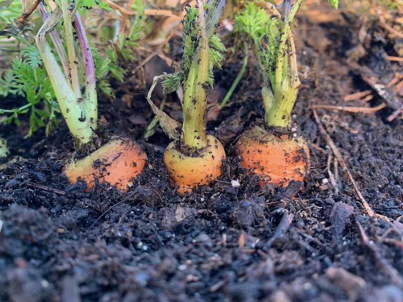 crowded carrots not thinned