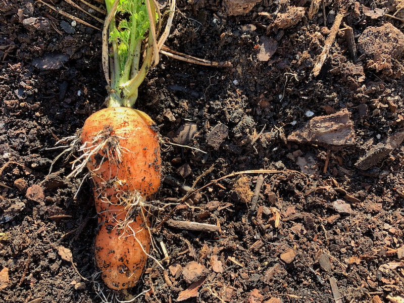 hairy carrot roots