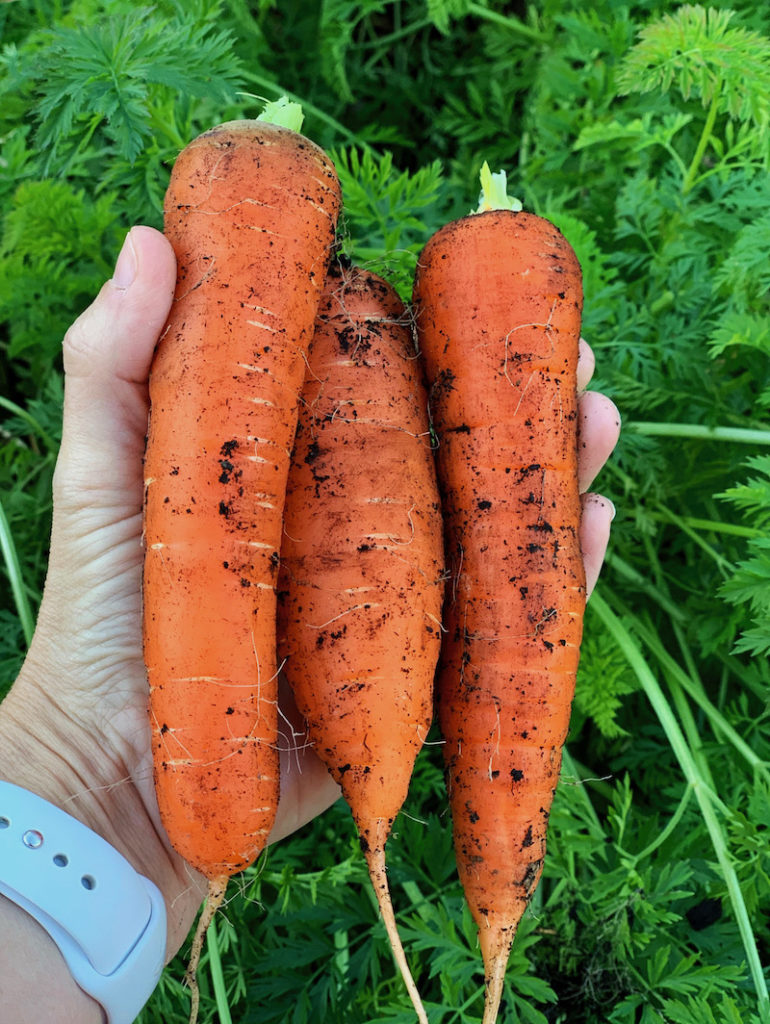 large carrots properly thinned