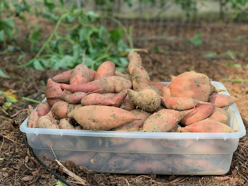 box of sweet potatoes after harvest