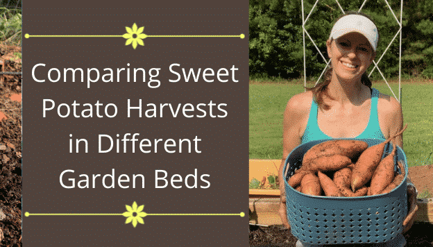 Comparing Sweet Potato Harvests in Different Garden Beds