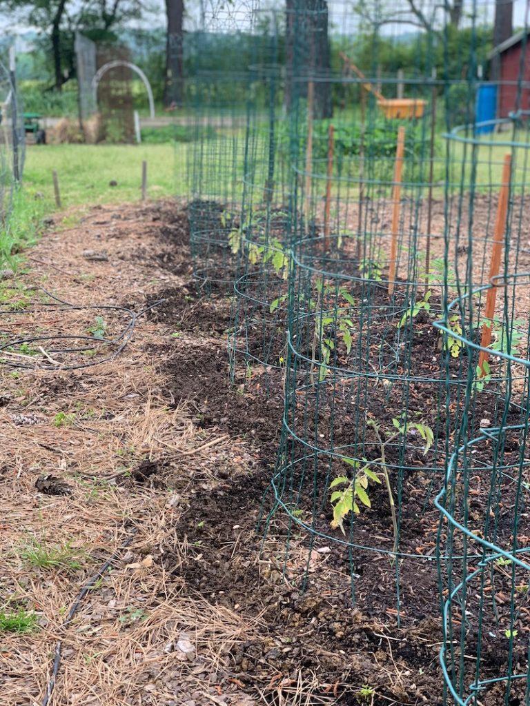 filo di pomodori in gabbia con pacciame intorno alla pianta
